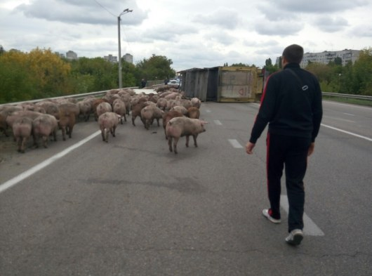 Под Харьковом перевернулась фура сживотными: милиция ловит сбежавших свиней